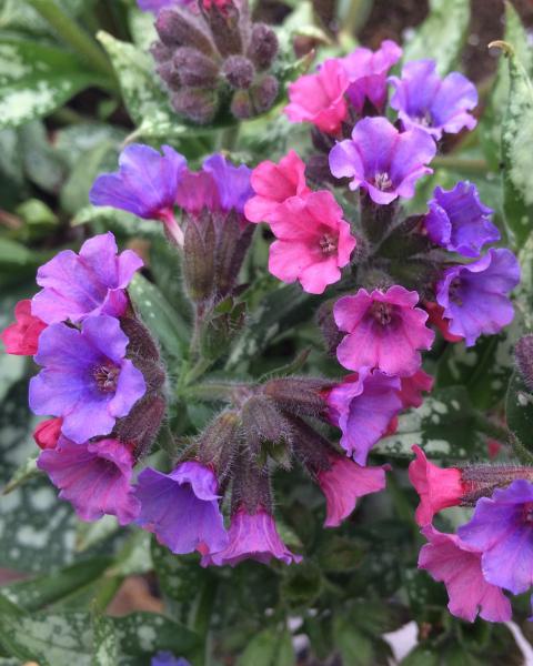 Silver Bouquet I Darwin Plants